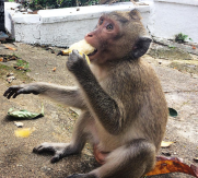 Monkey eating a banana