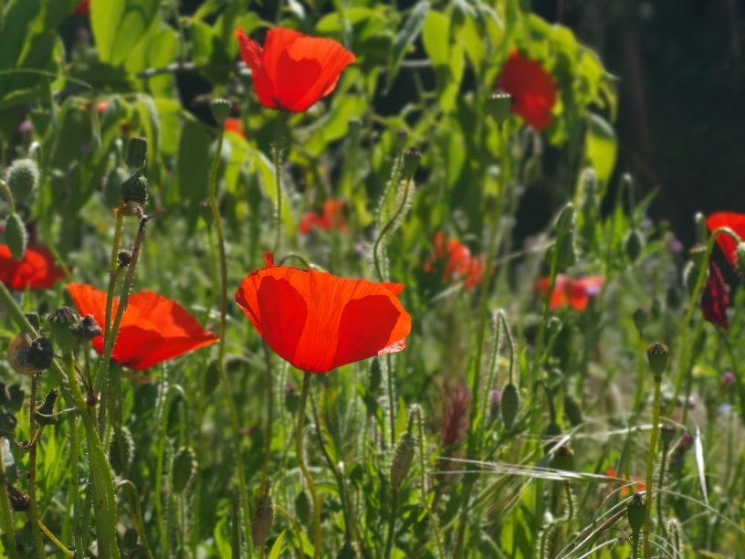 Poppies in Stade du fort carré